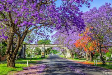 Mùa hoa phượng tím jacaranda ở Australia đẹp đến mê hồn