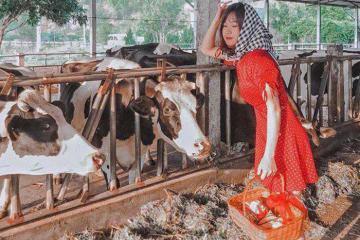 Một ngày hóa thân thành nông dân tại trang trại Dairy Farm Mộc Châu