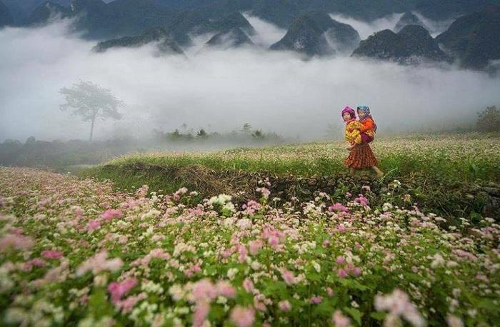 hoa tam giác mạch khoe sắc dọc cung đường Hà Giang