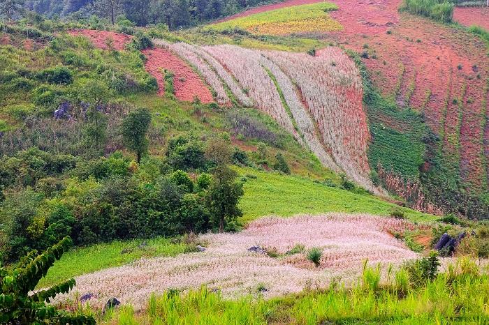 hoa tam giác mạch ở Lũng Cú