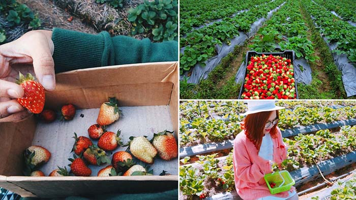 Tham quan vườn dâu quanh hồ Tuyền Lâm