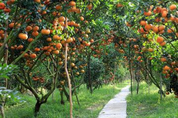 Du lịch Cần Thơ ghé thăm miệt vườn Cái Bè thưởng thức trái cây xum xuê