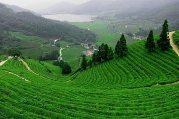 Tham quan đồi chè Tân Cương xanh bạt ngàn của 'xứ chè' Thái Nguyên