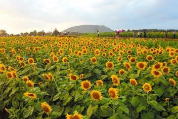 'Hướng dương' - Loài hoa gọi nắng về trên xứ Nghệ