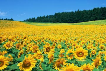 Nghệ An mùa hoa hướng dương: Ngắm trọn cánh đồng hoa khoe sắc rực rỡ