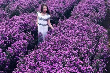 Vườn hoa thạch thảo mang sắc tím tựa lavender đẹp đốn tim tại Vũng Tàu