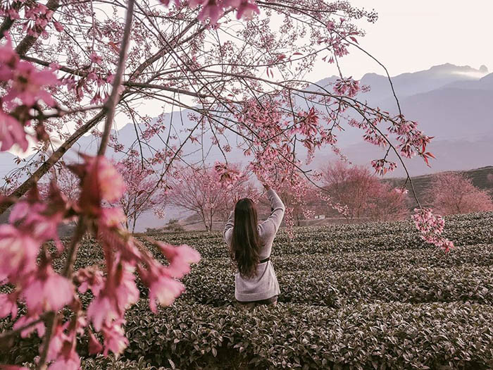 Hoa anh đào – loài hoa mang mùa xuân về với đất trời Sapa