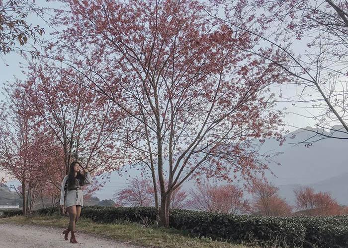 Khung cảnh đồi chè và hoa anh đào trong làn sương mờ ảo