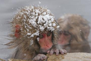 Đến Jigokudani Yaen Koen, ngâm mình trong suối nước nóng cùng bầy khỉ tuyết Nhật Bản
