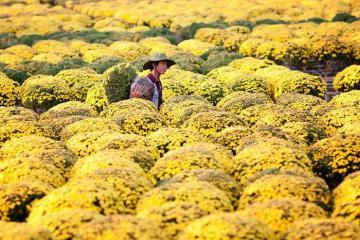Tết này, về Bến Tre thăm làng hoa Cái Mơn ngập tràn hương sắc
