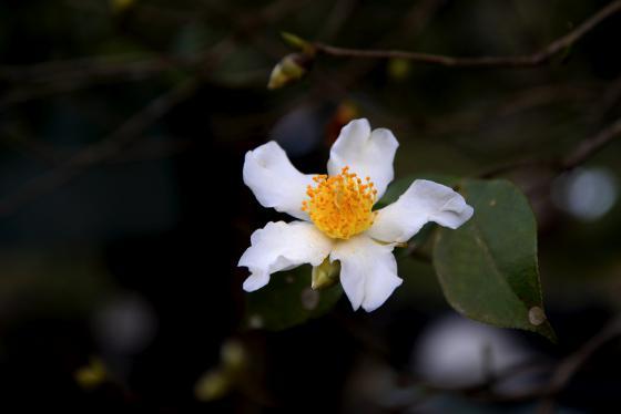 Ghé Bình Liêu, Quảng Ninh để chiêm ngưỡng mùa hoa sở đẹp đến nao lòng