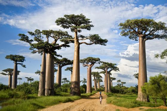 Đại lộ baobab tuyệt đẹp, phong tục nhảy múa cùng người chết và 7 điều thú vị về Madagascar