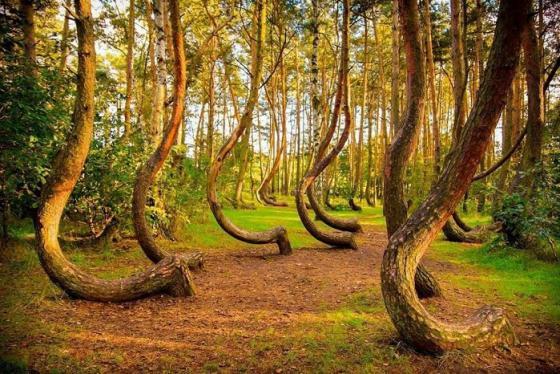 Rừng thông uốn cong như hình dấu hỏi ngược ở Ba Lan và những lời đồn đoán bí ẩn